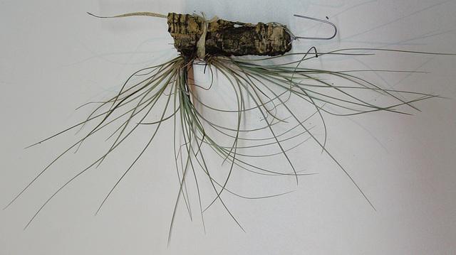 tillandsia -claitophylla- PB263897-1