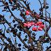 Fruits- baies de Fusain