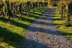 vineyard walking
