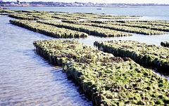 Austernbänke in der Bretagne