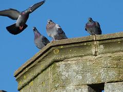 Pigeon vole...ou pas !