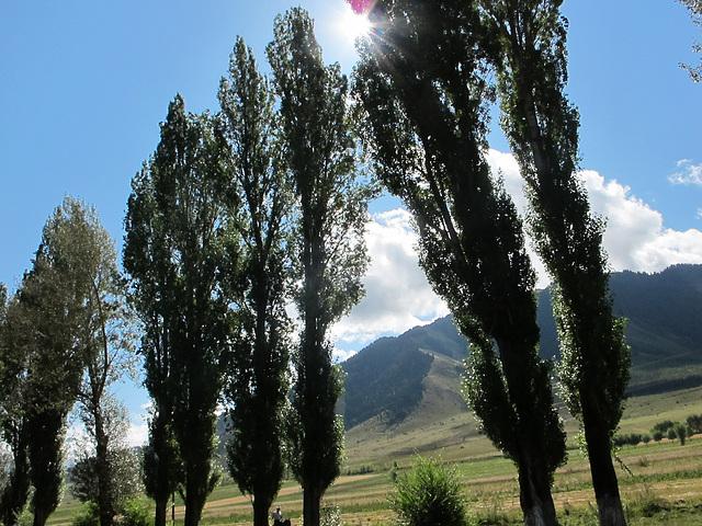 poplars before the sun