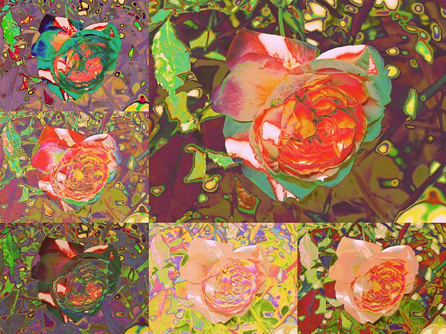 Rose - montage version 2