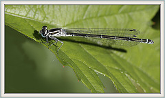 Agrion ♀