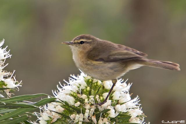 Mosquitero canario- (Phylloscopus canariensis)