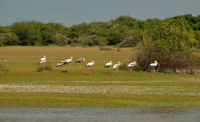 Painted storks marching