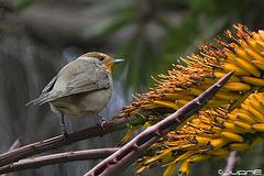 Curruca capirotada – Sylvia atricapilla heineken  (♀)
