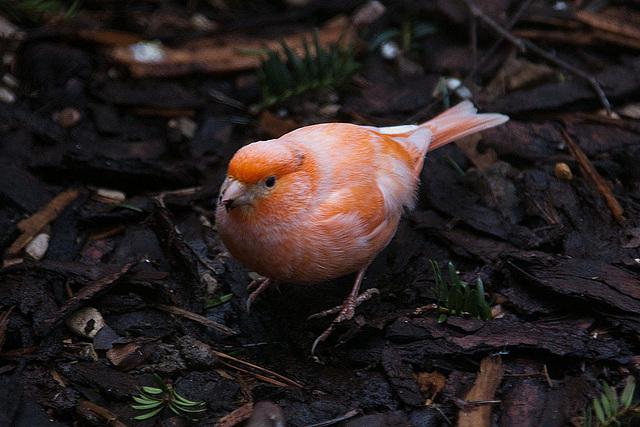 20120128 7089RAw [D~LIP] Kanarienvogel, Bad Salzuflen
