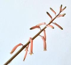 Aloe variegata DSC 0100