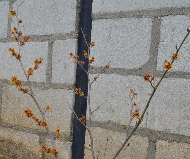 hamamelis intermédia 'orange beauty' DSC 0449
