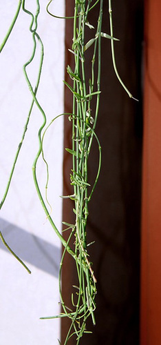 Ceropegia gemnifera (2)