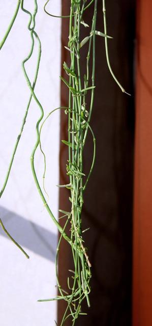 Ceropegia linearis ssp linearis
