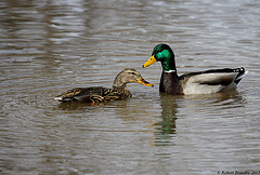 Un p'tit couple de colvert