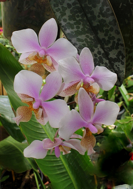 Phalaenopsis 'Philadelphia' x Schilleriana