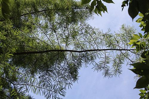 dentellière- feuillage de Taxodium