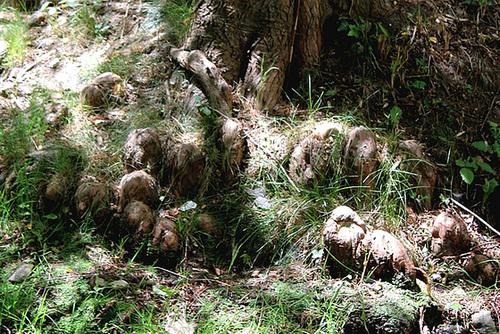 Racines aériennes ou pneumatophores de Taxodium( cyprès chauve )
