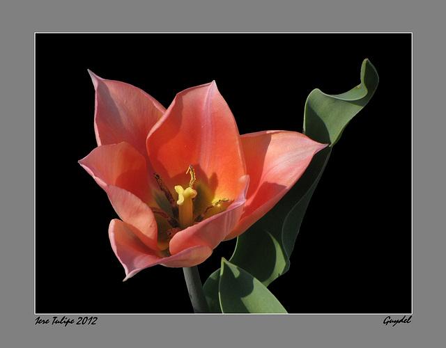Tulipe 2012 N°1 bis
