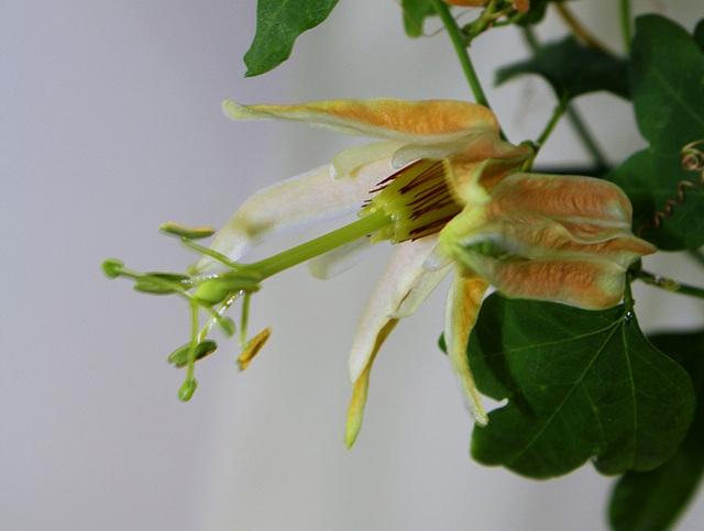 Passiflora aurantia