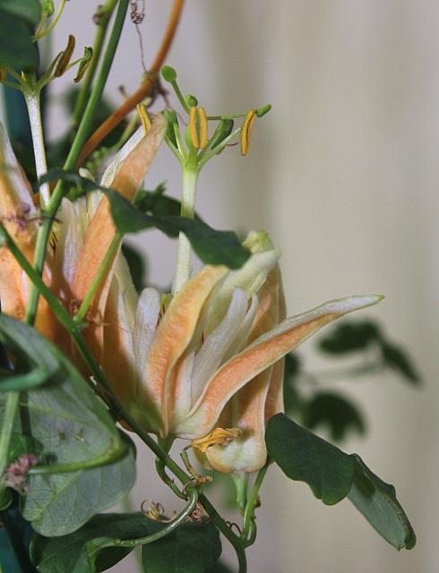 Passiflora aurantia (2)