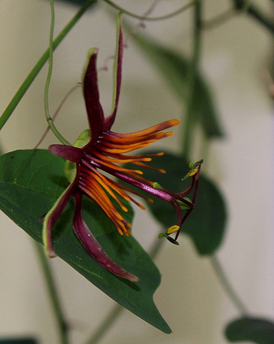 Passiflora Sunfire