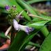 Lachenalia orchidioïdes