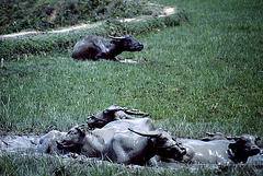 Buffalos de Sulawesi