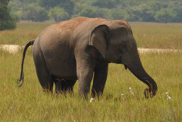 Wild elephant (milieu naturel)