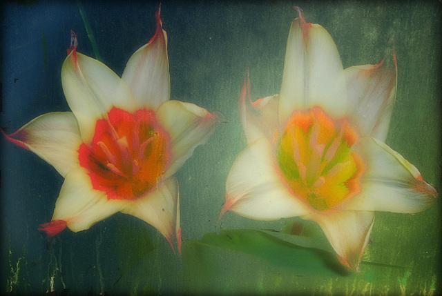 coeurs de tulipes