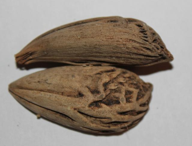 Graines de Latania loddigesi