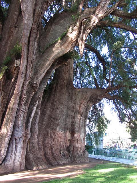 großer, alter Baum