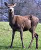 Deer at Barrowford.