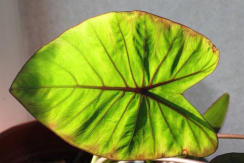 Colocasia esculenta (2)