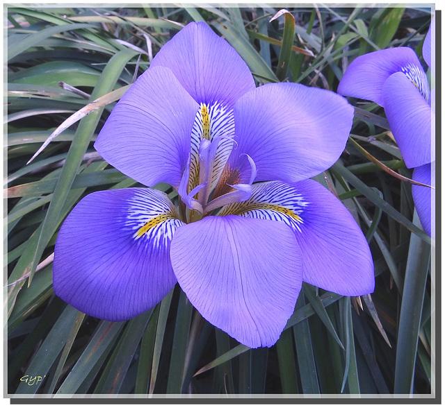 """Iris """"d'Algérie"""""""