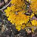 Lichen Xanthoria parietina