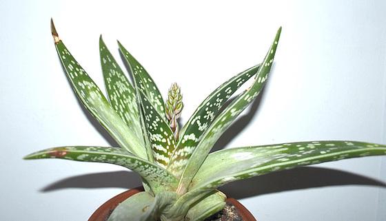 aloè variegata DSC 0201