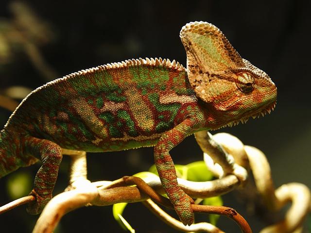 chameleon - Chamäleon - caméléon - camaleón II