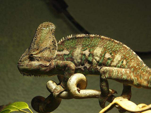 chameleon - Chamäleon - caméléon - camaleón III