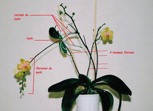 how to cut orchids after flowering