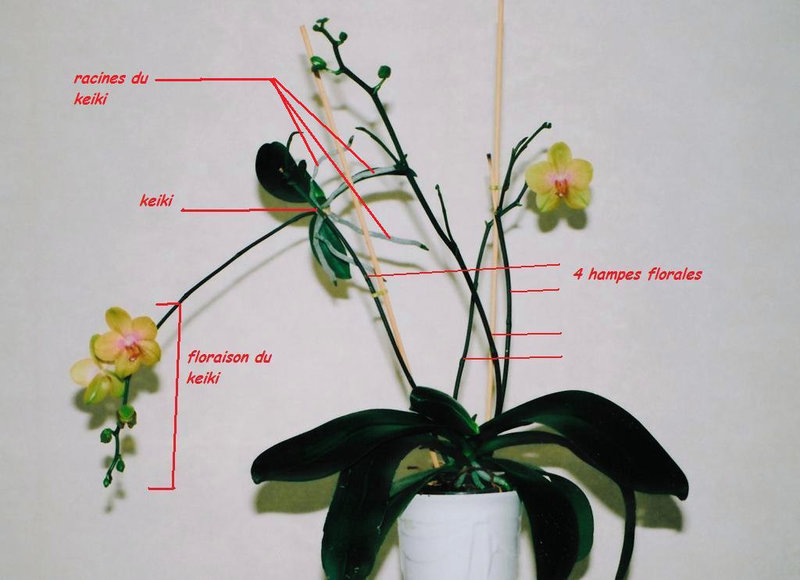 Phalaenopsis âgé , avec keiki adulte fleuri