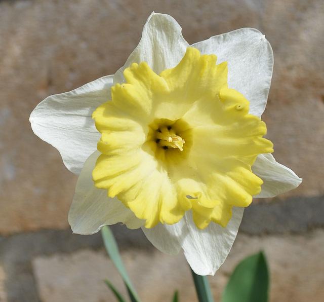 Narcisse DSC 0042