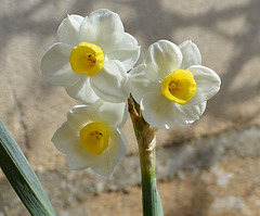 Narcisse multiflora DSC 0046