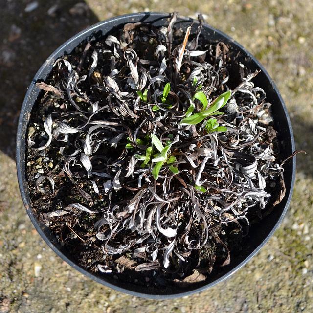 Leontopodium alpinum 'Matterhorn' DSC 0050
