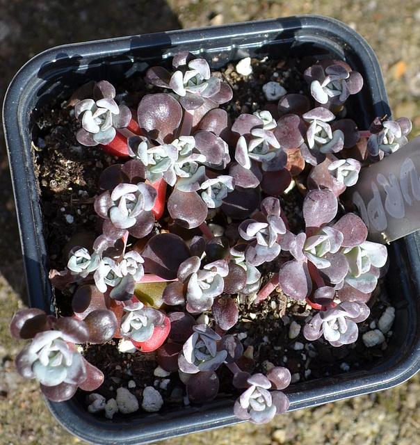 Sedum spathulufolium purpureum DSC 0052