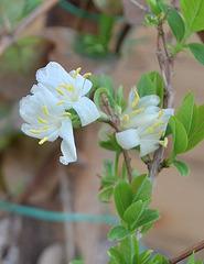 Lonicera fragantissima DSC 0056