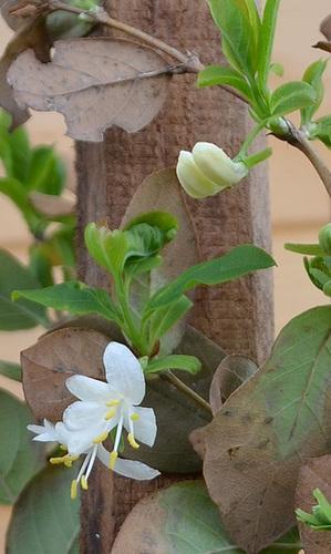 Lonicera fragantissima DSC 0058