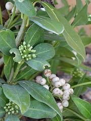 skimmia japonica 'kew white' DSC 0059