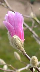magnolia loebneri 'léonard messel' DSC 0063