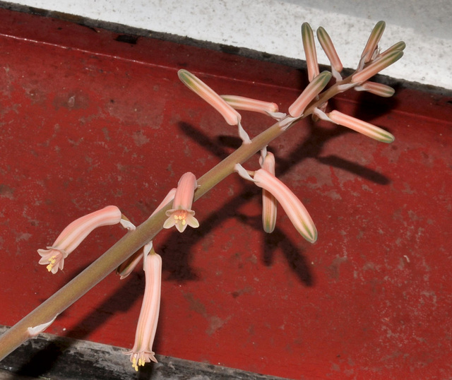 Aloe variegata DSC 0077