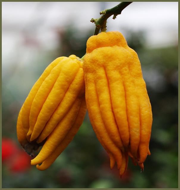Buddha Hand Zitronen