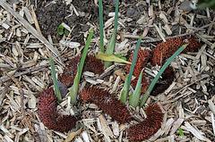 Démarrage d'iris reticulata